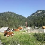 Cows on alpine meadow