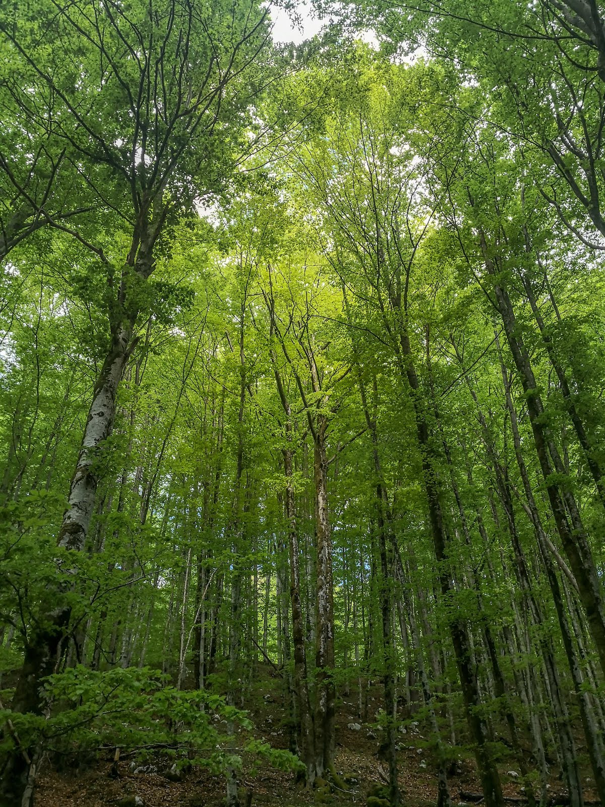 young beech forest in julian alps